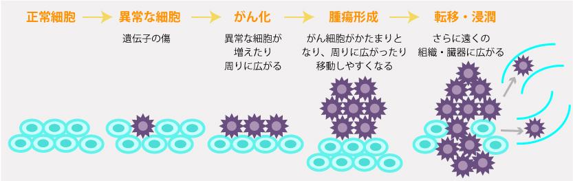 がんになるメカニズム。「正常細胞」~「異常細胞」遺伝子の傷~「がん化」異常な細胞が増えたり周りに広がる~「腫瘍形成」がん細胞がかたまりとなり、周りに広がったり移動しやすくなる~「転移・浸潤」さらに遠くの組織・臓器に広がる